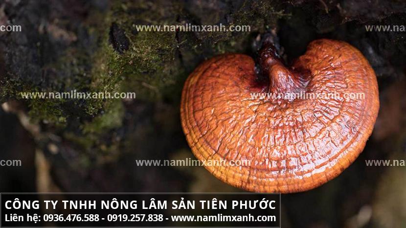 Bán nấm lim xanh ở Cà Mau và báo giá nấm lim Quảng Nam bao nhiêu?
