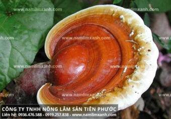 Bán nấm lim xanh tại Hà Nội giá nấm lim xanh bao nhiêu tiền 1kg?