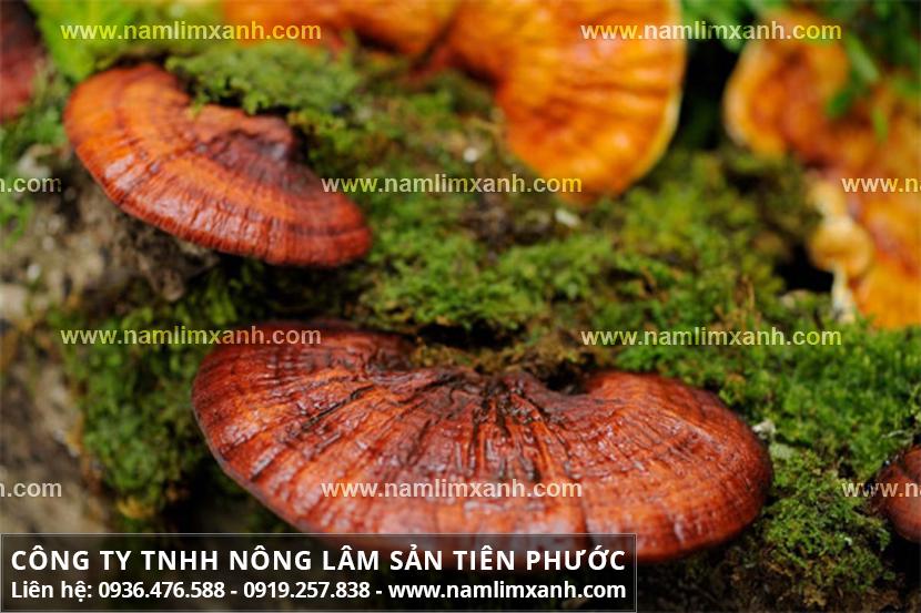 Địa chỉ bán nấm lim xanh rừng tự nhiên có tại tỉnh Thái Bình