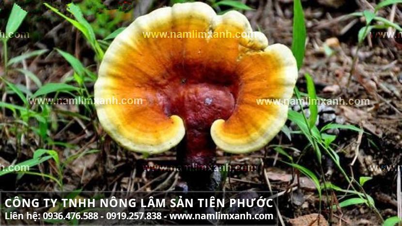 Địa chỉ mua bán nấm lim xanh rừng tự nhiên chính hãng tại Yên Bái