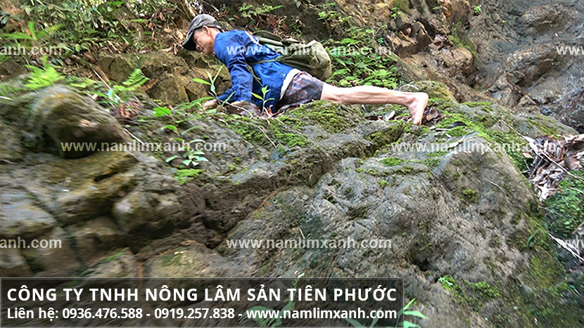 Mua nấm lim xanh ở Hà Nội và địa chỉ bán nấm lim xanh rừng Tiên Phước