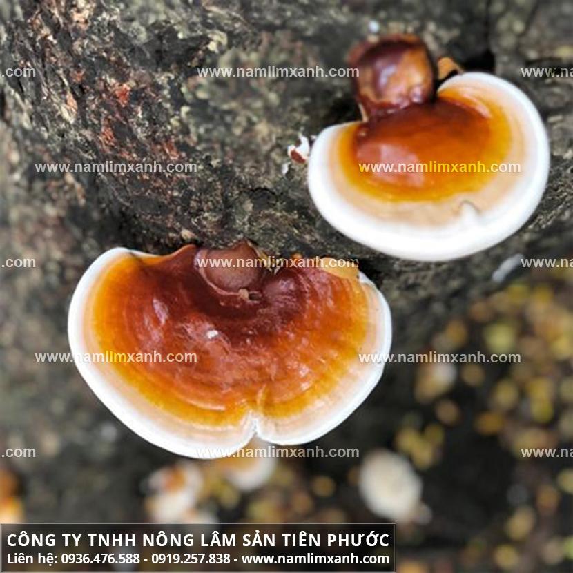 Mua nấm lim xanh tại Quảng Ngãi phát huy tác dụng nấm lim rừng