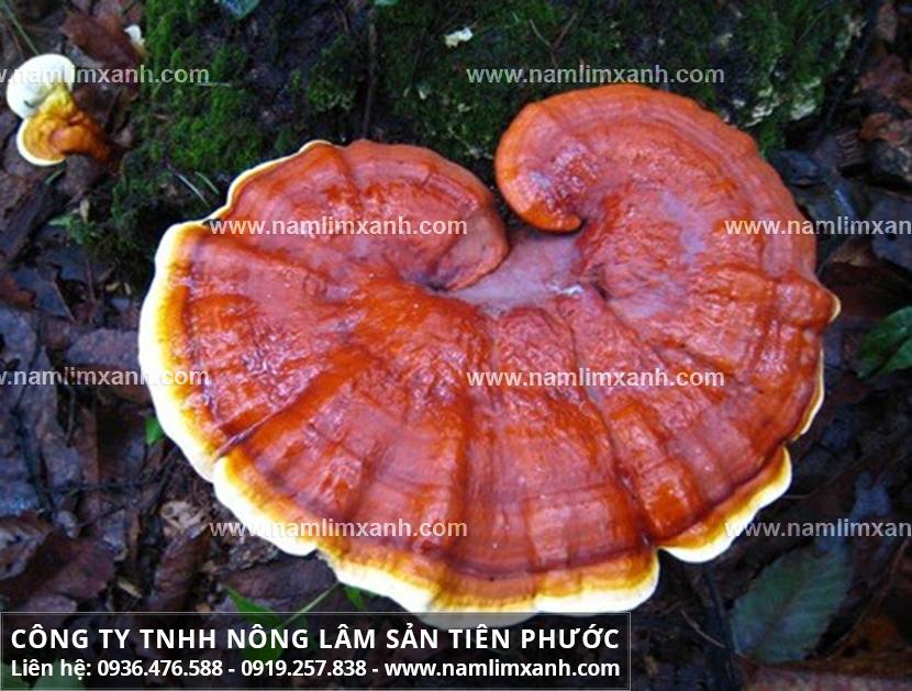 Mua nấm lim xanh tốt ở An Giang với giá bán nấm lim xanh Quảng Nam