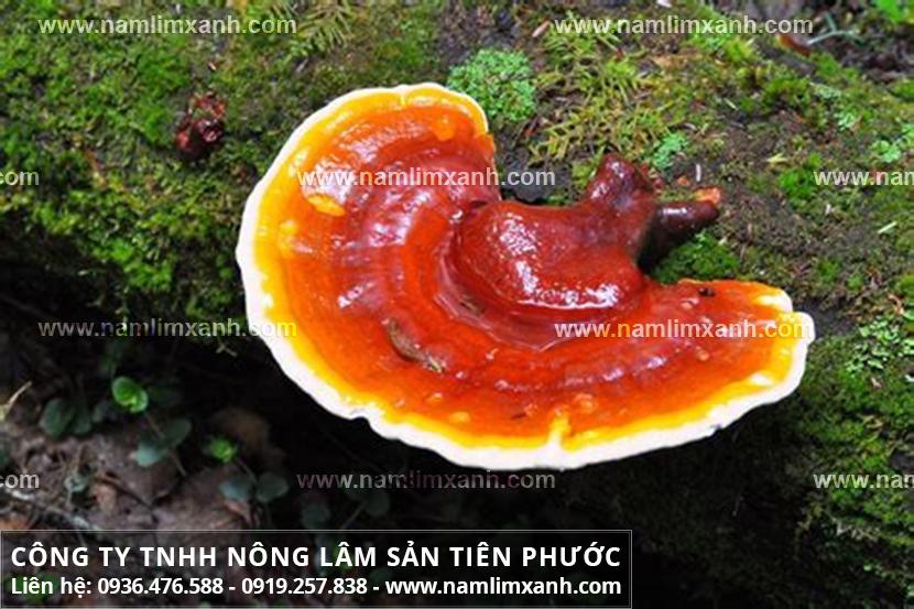 Nấm lim xanh rừng loại 1 mua ở đâu tại Nam Định đảm bảo chất lượng