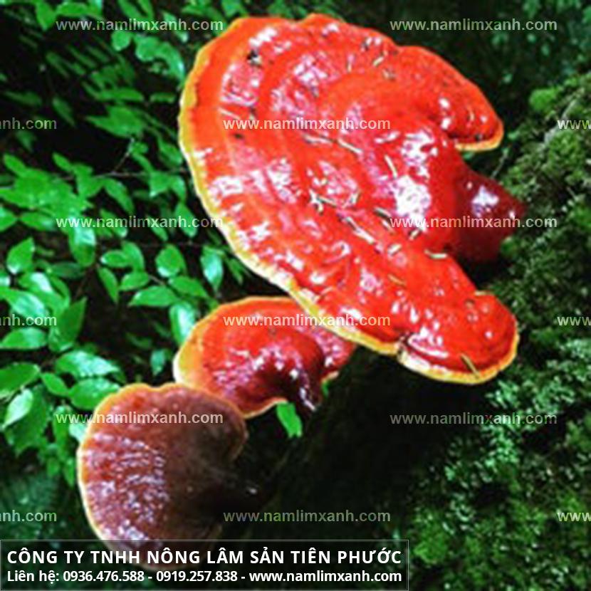 Nơi bán nấm lim xanh ở Ninh Bình đảm bảo nấm lim rừng chính hãng
