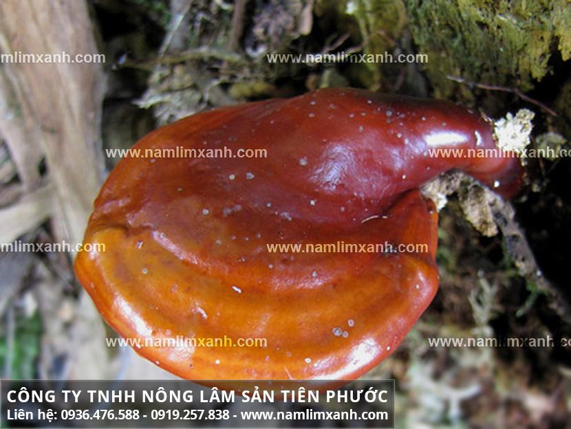 Nơi bán nấm lim xanh rừng ở Phú Yên đảm bảo tác dụng nấm lim hiệu quả