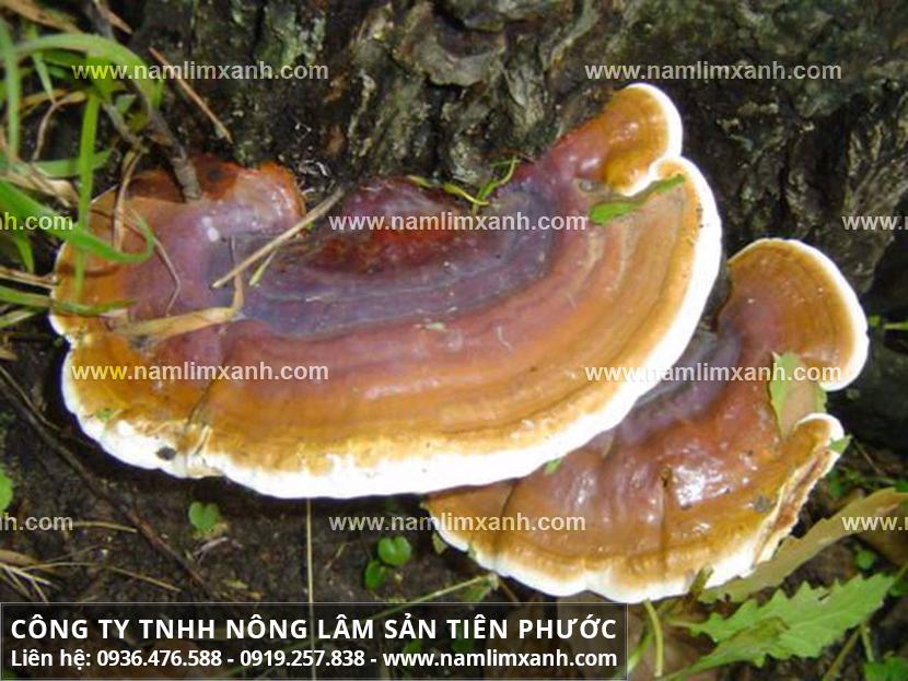 Nơi bán nấm lim xanh Sơn La uy tín đảm bảo tác dụng nấm lim rừng