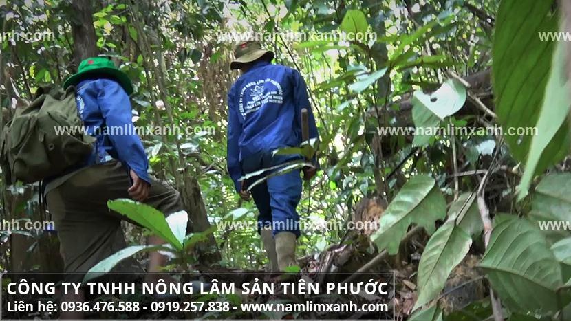 Nấm lim xanh Quảng Nam và quá trình tìm hái nấm lim rừng tự nhiên