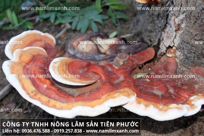 Giá nấm lim xanh Quảng Nam và bán nấm lim xanh rừng Tiên Phước ở đâu?