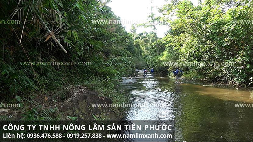 Nấm lim xanh Nông Lâm với nhận biết hình ảnh nấm lim rừng Nông Lâm