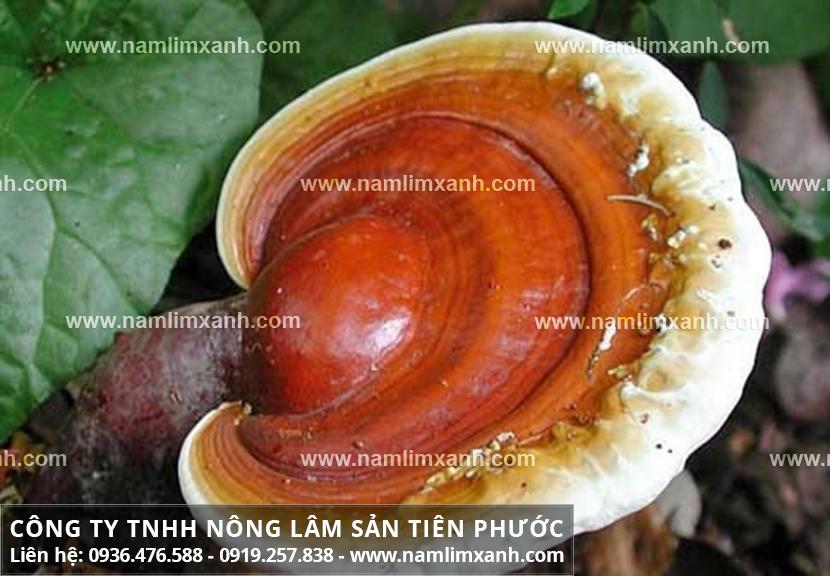 Địa chỉ mua nấm lim xanh tại Phú Thọ ở đâu và bảng giá nấm lim rừng