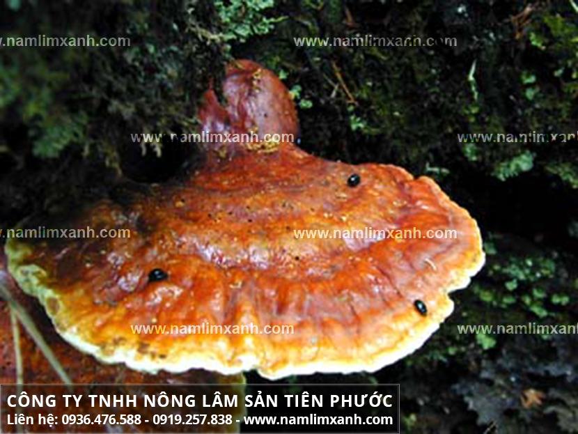 Mua nấm lim xanh ở đâu tại Bắc Ninh uy tín và chuẩn giá nấm lim rừng?