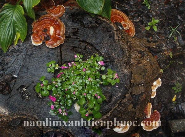 Cách sắc nấm lim xanh với liều lượng nấm lim xanh rừng
