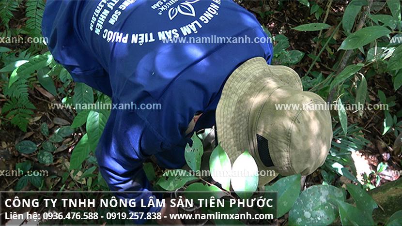 Cách dùng nấm lim xanh hãm trà và cách chế biến nấm lim rừng tự nhiên