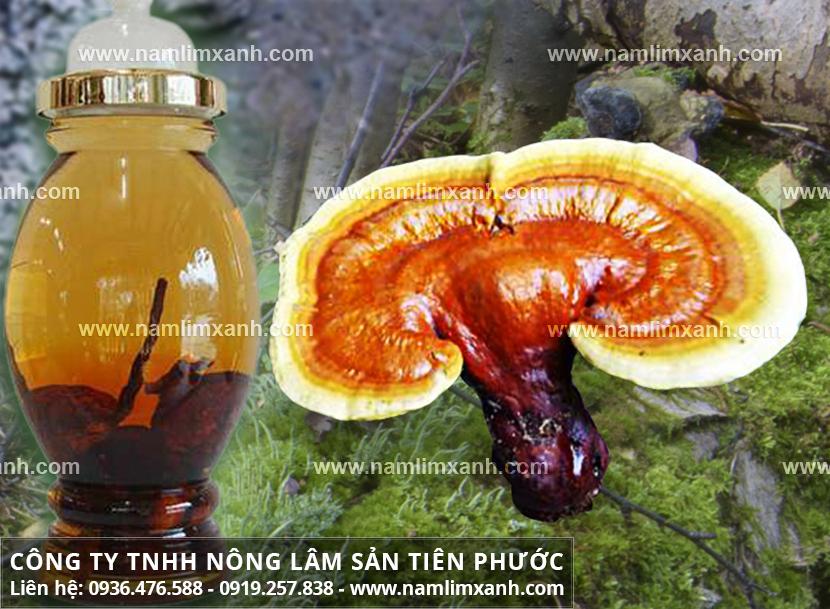 Cách dùng nấm lim xanh và cách ngâm rượu nấm lim rừng tự nhiên