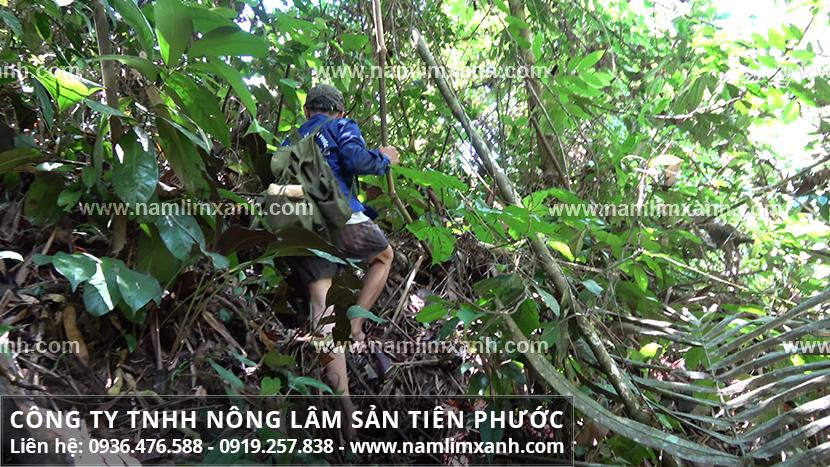 Cây nấm lim xanh Tiên Phước mọc ở đâu và đặc điểm của nấm lim rừng