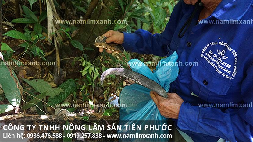 Cây nấm lim xanh tự nhiên và hành trình tìm hái nấm lim xanh rừng