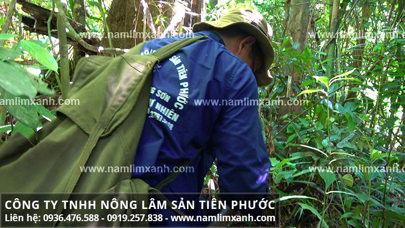Giá nấm lim xanh chính hãng và giá mua bán nấm lim rừng Tiên Phước