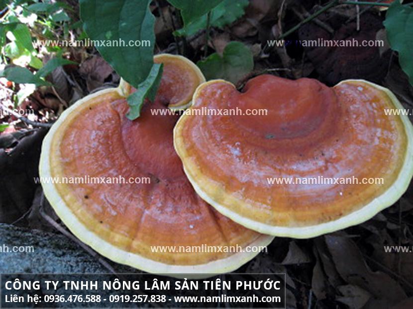 Nấm lim xanh chữa bệnh viêm gan với cách dùng cây nấm lim xanh rừng
