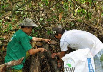 Nấm lim rừng là gì nấm lim xanh chữa bệnh gì cách dùng thế nào?