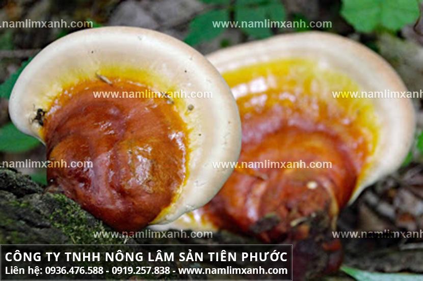 Nấm lim xanh Quảng Nam có tác dụng gì với sử dụng nấm lim trị bệnh