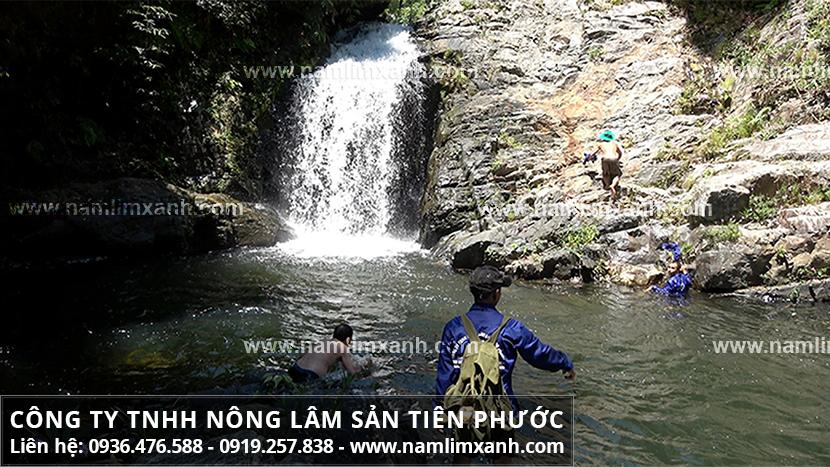 Nấm lim xanh Quảng Nam và phân loại nấm cây lim xanh rừng Tiên Phước