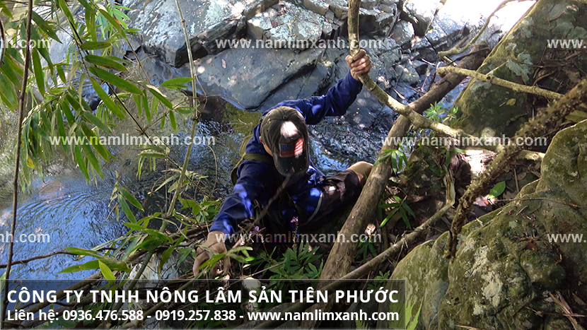 Nấm lim xanh Quảng Nam với đặc điểm hình ảnh của nấm lim rừng tự nhiên