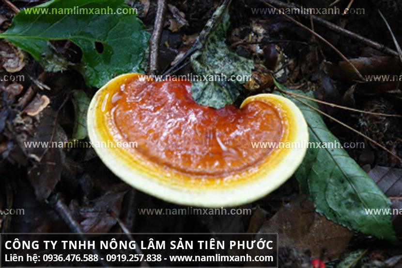 Nấm lim xanh Tiên Phước có mấy loại và cây nấm lim xanh rừng tự nhiên