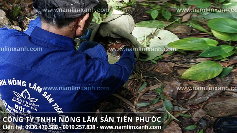 Nấm lim xanh Tiên Phước với nấm lim tự nhiên và quá trình tìm hái
