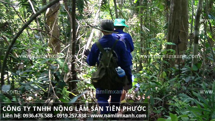 Nấm lim xanh tự nhiên và nhận biết hình ảnh nấm lim rừng Tiên Phước