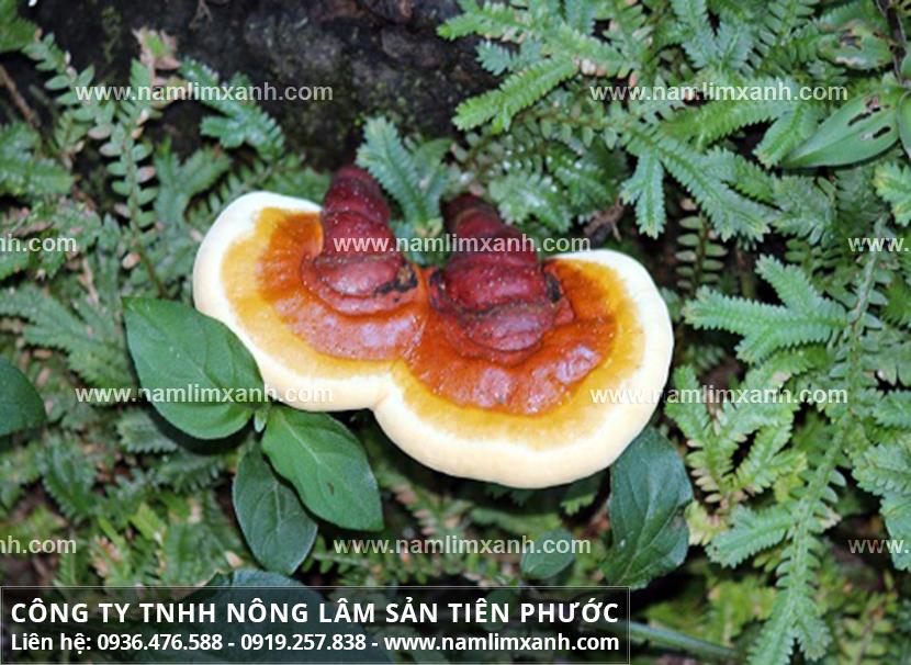Tác dụng của nấm lim xanh và cách dùng nấm lim xanh rừng Tiên Phước