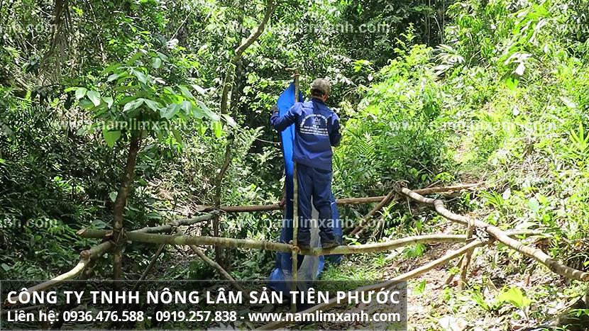 Tác dụng nấm lim xanh chữa bệnh gout và lợi ích nấm lim rừng tự nhiên