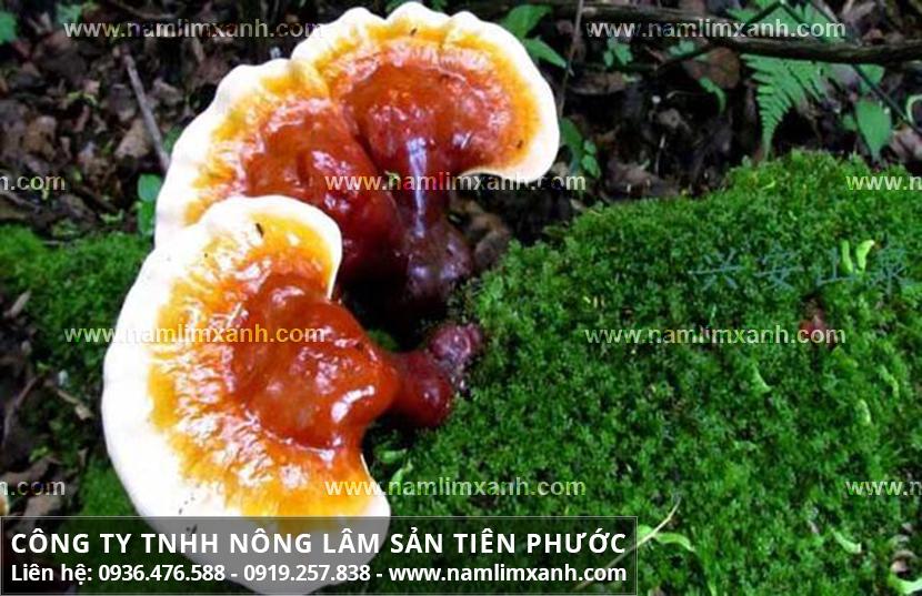 Tác hại của nấm lim xanh với cách sơ chế và uống nấm lim xanh rừng