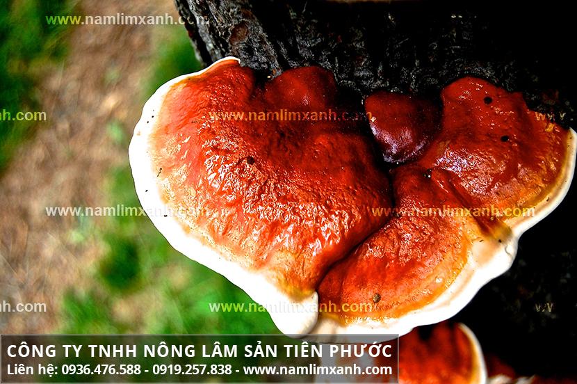 Cách dùng nấm lim xanh tự nhiên và lưu ý khi uống nấm lim rừng