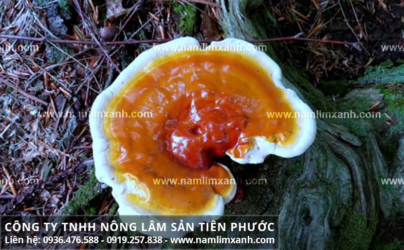 Công dụng của nấm lim xanh rừng tự nhiên và tác dụng trị ung thư gan