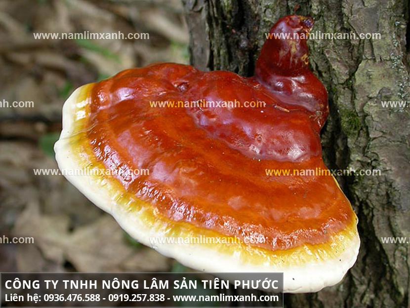 Công dụng của nấm lim xanh rừng và cách sử dụng nấm lim xanh Quảng Nam