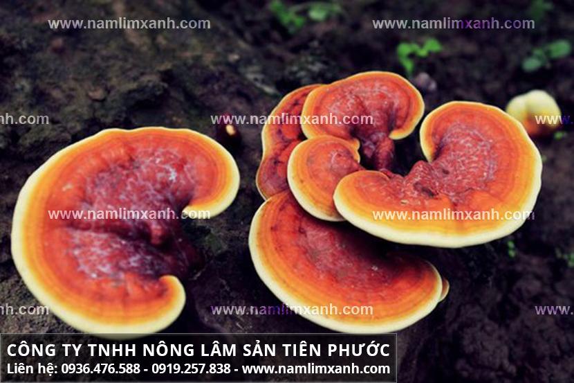 Công dụng của nấm lim xanh và tác dụng nấm lim xanh rừng trị bệnh gout