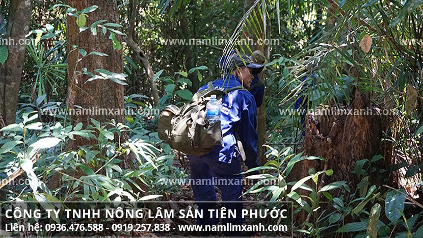 Hình ảnh nấm lim xanh và đặc điểm của nấm lim xanh rừng Tiên Phước