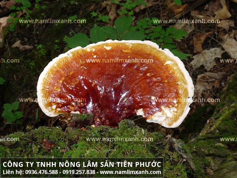 Nấm lim xanh Quảng Nam và hình ảnh nấm lim xanh rừng tự nhiên Tiên Phước