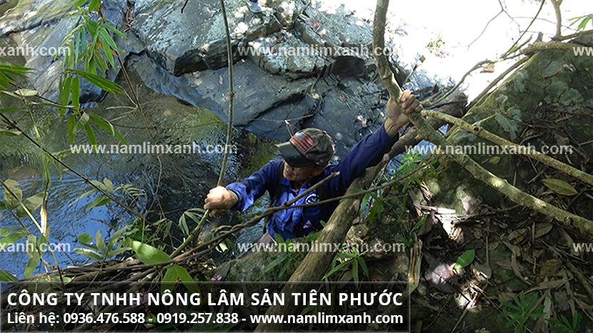 Nấm lim xanh rừng và hình ảnh nấm cây lim xanh Tiên Phước Quảng Nam
