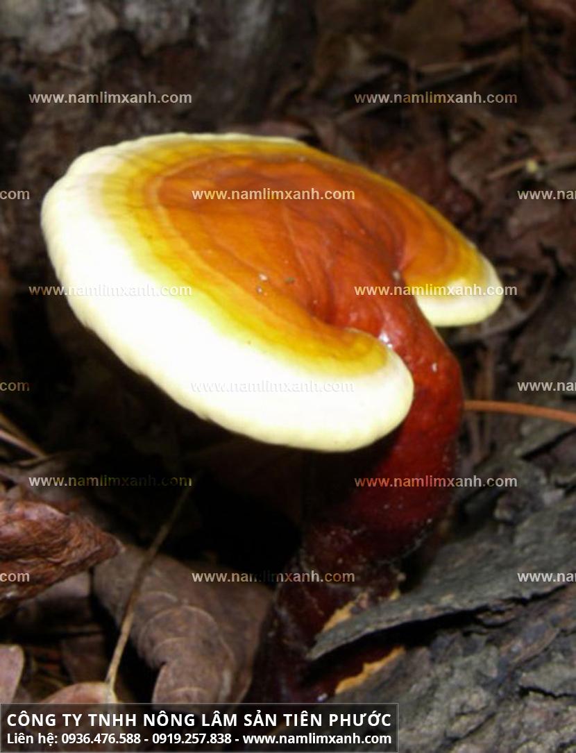Tác dụng của nấm lim xanh tự nhiên và cách dùng nấm lim xanh tự nhiên