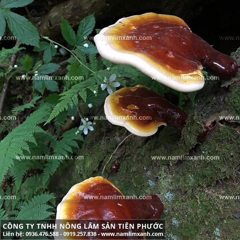 Công dụng của nấm lim rừng và tác dụng nấm lim xanh hỗ trợ làm đẹp