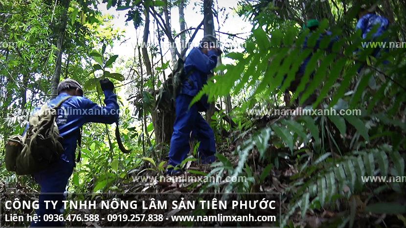 Nấm lim xanh rừng và dùng nấm cây lim xanh rừng Tiên Phước Quảng Nam