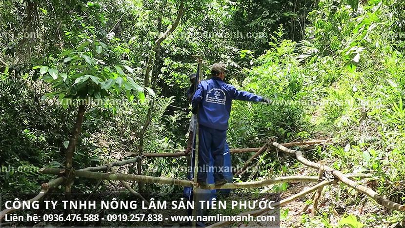 Nấm lim xanh tự nhiên và hình ảnh nấm lim rừng Tiên Phước mọc ở đâu?