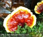 Tác dụng của nấm lim xanh chữa bệnh ung thư nấm lim xanh rừng