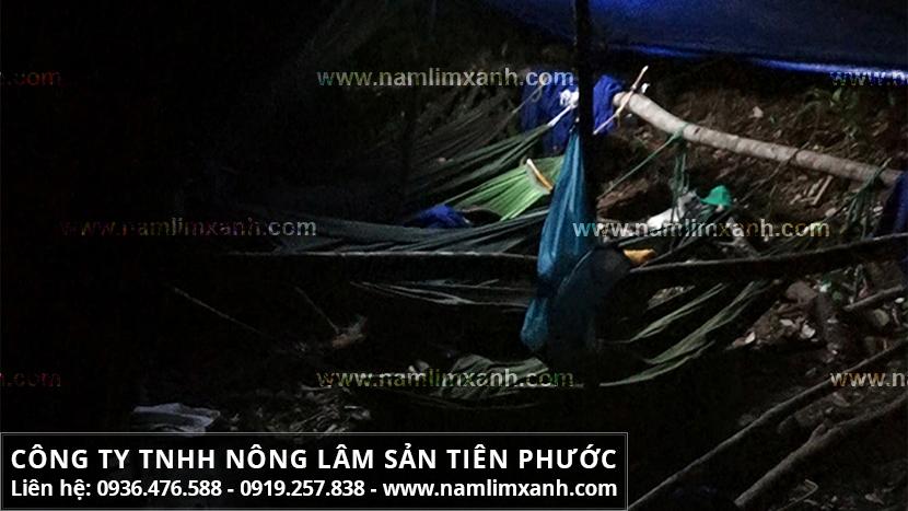 Hình ảnh nấm lim xanh và đặc điểm nấm lim xanh Tiên Phước Quảng Nam