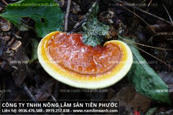 Nấm lim xanh chữa ung thư phổi cách chế biến nấm lim xanh rừng