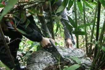 Nấm lim xanh Lào với tác dụng và cách dùng nấm lim xanh rừng Lào
