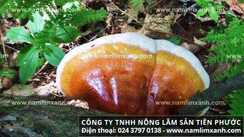 Cách sơ chế nấm lim xanh tự nhiên để tránh ngộ độc