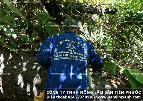 Hái nấm lim xanh Tiên Phước ở trên gốc lim rừng tự nhiên